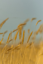 Tall Grasses Background