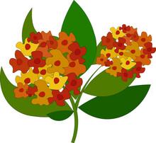 Beautiful Lantana Flowers, Ill...