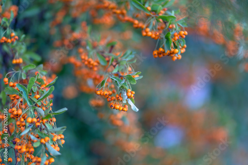 Hawthorn Bush Laden With Berries In Autumn Decorative Bush With