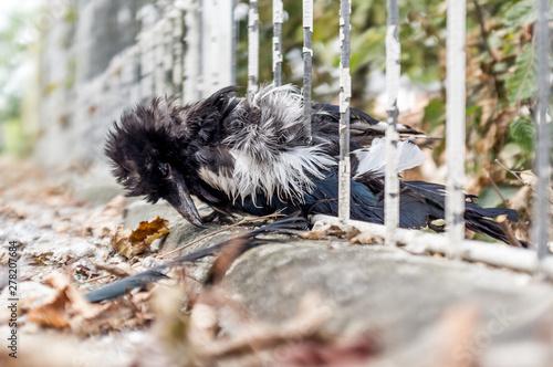 Fotografie, Tablou  Oiseau mort, coincé dans une grille