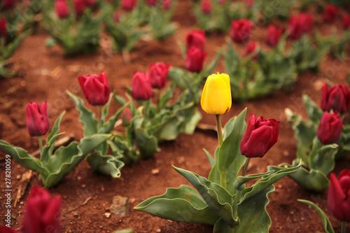 Fotografie, Obraz  Dare to be different. yellow tulip