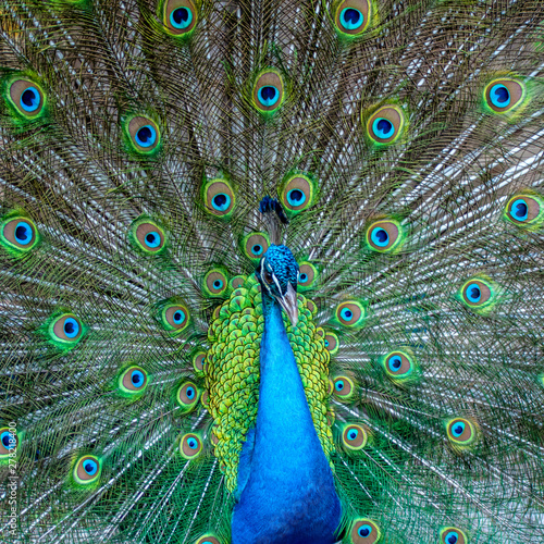 Foto op Aluminium Pauw A close portrait of a blue peacock on the background of colorful feather