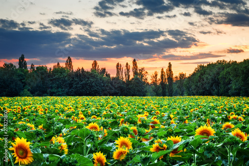 Foto op Plexiglas Groene Sunflower field during sunset, Slovakia