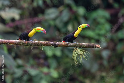 Keel-billed Toucan - Ramphastos sulfuratus, large colorful toucan from Costa Rica forest with very colored beak Canvas Print