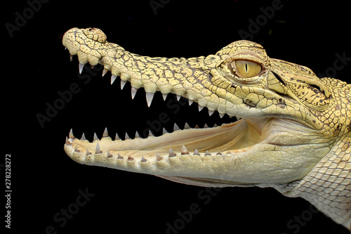 Cadres-photo bureau Crocodile yellow crocodile typical of Asian borneo with sharp teeth which is very ferocious