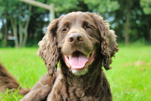 Close Up Portrait Of Brown Chocolate Spaniel Dog Face On With Tongue Out Smiling
