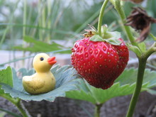 Tiny Rubber Duck And Strawberr...