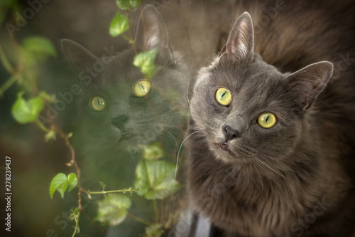 Fototapeta Gato ojos amarillos grandes big eyes cat reflejo nebelung