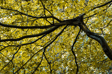 Tree Spreads Its Branches Wide To Form A Natural Golden Autumn Leaf Roof Canopy