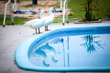 Two Geese By The Pool / Holida...
