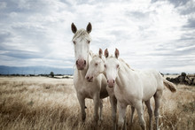 Family Of White Horses Eating In The Grass In The Middle Of Nature