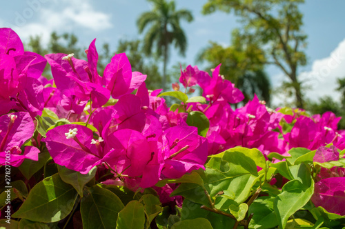 Poster Rose bugambilia en flor