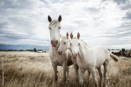 Foto op Canvas Paarden family of white horses eating in the grass in the middle of nature