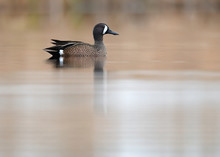 Blue-winged Teal Drake On Calm Reflective Pond With Clean Tan Background.