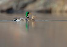 Mallard Drake And Hen Ducks Swim Together On Calm Pond.