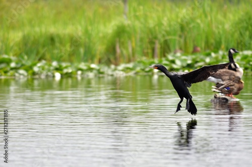 Fotobehang Vissen A view of double-crested cormorant touching down on the water.Burnaby lake BC Canada