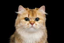Close-up Portrait Of Furry British Cat Red Chinchilla Color With Green Eyes Gazing On Isolated Black Background, Front View
