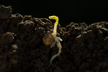 Spring Bean Bud With Root In G...