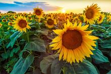 Beautiful Sunflower Field Pano...