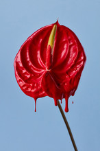 Exotic Anthurium Flower Painted With Red Paint On A Blue Background