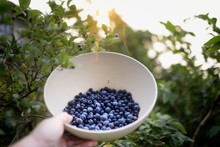 Hand Holding A Bowl Of Freshly Picked Blueberries In A Blue Berry Bush At Sunrise