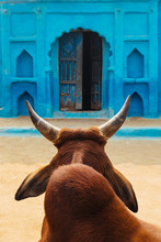 Indian Cow Against Blue Wall
