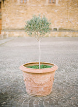 Small Olive Tree In Italian Co...