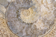 Ammonite Fossil Close Up