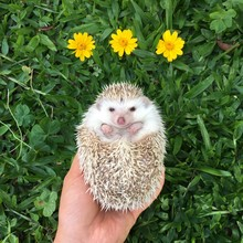 Cutest Hedgehog With Grassy Green Background And Yellow Daises