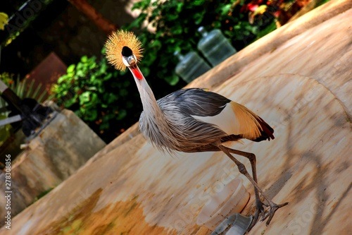 A Grey crowned crane holding a pose - also the national bird of Uganda Canvas Print