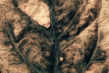 Wilted Avocado Leaf Macro Text...