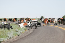 Herd Of Cattle Are Moved Down Rural Road