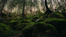 Green Old Growth Forest