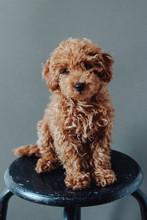 Caniche Puppy