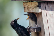 Starling Flying To The Birdhouse