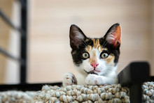 Adorable Calico Kitten Looking Down From The Balcony