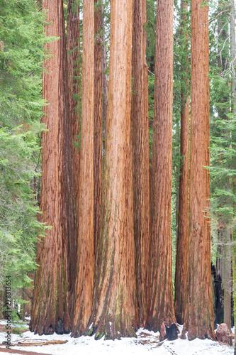 Poster de jardin Parc Naturel Group of giant sequoias