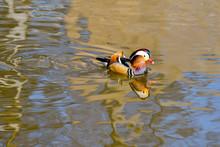 Closeup Of Male Mandarin Duck Swimming In River