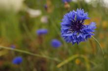 Blue Garden Cornflower Without One Petal.