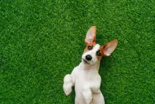 Puppy Jack Russel Terrier, Lying On Green Grass.
