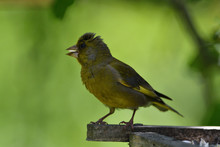 Green Goldfinch On A Branch Wi...