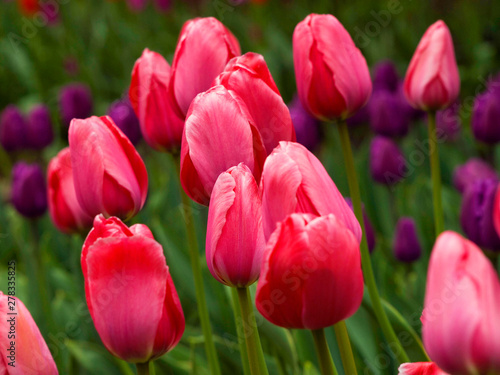 Amazing tulips flowering in the garden. Close up background morning nature #278335825