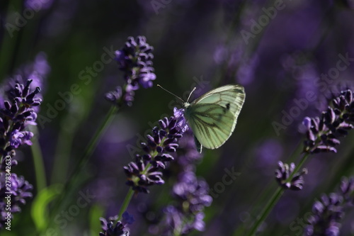 Foto auf AluDibond Schmetterling White butterfly on lavender flower. Captured in the Netherlands.