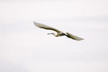 Einzelner Fliegender Watvogel ...