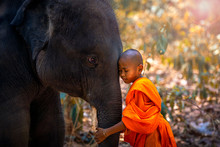 Novices Or Monks Hug Elephants. Novice Thai Standing And Big Elephant With Forest Background. , Tha Tum District, Surin, Thailand.