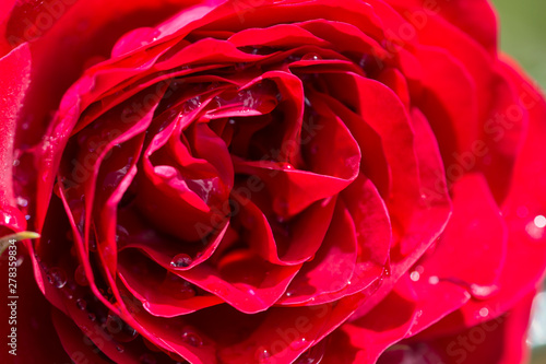 Keuken foto achterwand Roses Closeup of a red rose with water drops