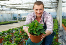 Man Horticulturist Arranging  Euphorbia Pulcherrima Herbs In Sunny Greenhouse