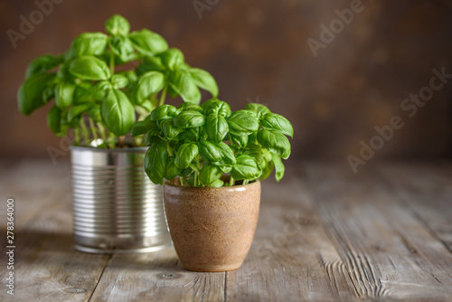 Leinwand Poster Young fresh basil in pots