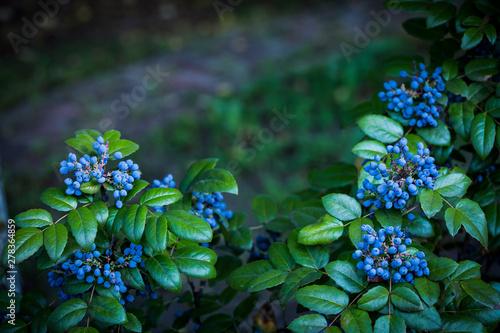 Fototapeta Mahonia aquifolium (Oregon-grape or Oregon grape), blue fruits and green leaves in autumn. Text space. obraz