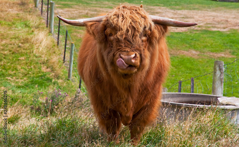 Fototapeta Scottish highland cow with big horns licking its nose.